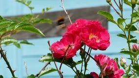 El abejorro recoge el néctar del arbusto color de rosa 4k almacen de video