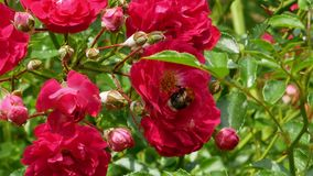 El abejorro recoge el néctar del arbusto color de rosa 4k metrajes