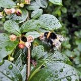 El abejorro recoge el néctar después de la lluvia en Bush mojado Fotografía de archivo libre de regalías