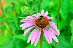 El abejorro recoge el néctar en un primer del rosa del Echinacea de la flor Fotos de archivo libres de regalías