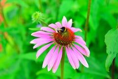 El abejorro recoge el néctar en un rosa del Echinacea de la flor Imagen de archivo