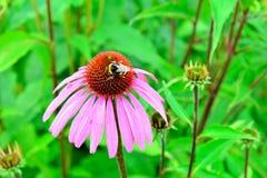 El abejorro recoge el néctar en una flor de los clos del purpurea del Echinacea Imágenes de archivo libres de regalías
