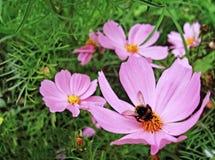 El abejorro recoge el polen en un cosmea rosado imagen de archivo