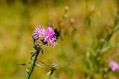 El abejorro recoge el polen en una flor de la lila Imagen de archivo