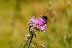 El abejorro recoge el polen en una flor de la lila Imagen de archivo libre de regalías