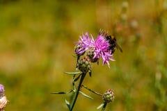 El abejorro recoge el polen en una flor de la lila Imágenes de archivo libres de regalías