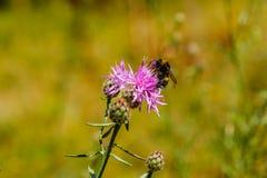 El abejorro recoge el polen en una flor de la lila Foto de archivo libre de regalías