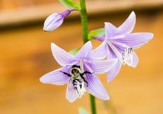 El abejorro recolecta el néctar de Bellflowers de la lila Fotografía de archivo libre de regalías