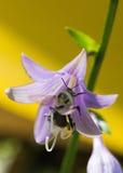 El abejorro recolecta el néctar del flowers_ Foto de archivo libre de regalías