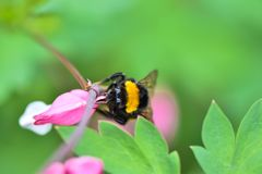 El abejorro recolecta el néctar de las flores hermosas Imágenes de archivo libres de regalías