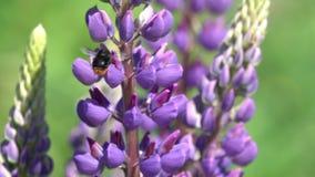 El abejorro recolecta el néctar en una flor lupine, cámara lenta almacen de metraje de vídeo