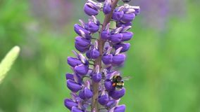 El abejorro recolecta el n?ctar en una flor lupine, c?mara lenta almacen de metraje de vídeo