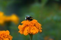 El abejorro se está sentando en tagetes de una flor de la naranja Fotos de archivo