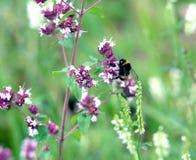 El abejorro se sienta en el primer de los wlowers del campo del flor Fotos de archivo libres de regalías