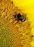 El abejorro se sienta en una flor amarilla Foto macra Fotografía de archivo libre de regalías