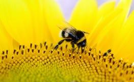 El abejorro se sienta en una flor amarilla Foto macra Foto de archivo