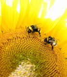El abejorro se sienta en una flor amarilla Foto macra Imagenes de archivo