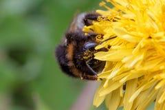 El abejorro se sienta en una flor del diente de león Imagen de archivo libre de regalías