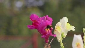 El abejorro sube fuera de la flor y se va volando almacen de metraje de vídeo