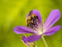 El abejorro, también escrito manosea la abeja Imagen de archivo libre de regalías