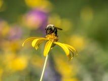 El abejorro, también escrito manosea la abeja Fotografía de archivo libre de regalías