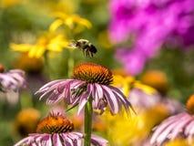 El abejorro, también escrito manosea la abeja Imagenes de archivo