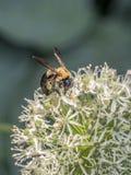 El abejorro, también escrito manosea la abeja Foto de archivo libre de regalías