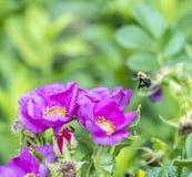 El abejorro, también escrito manosea la abeja Foto de archivo