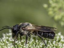 El abejorro, también escrito manosea la abeja Fotos de archivo libres de regalías