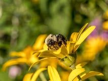 El abejorro, también escrito manosea la abeja Imágenes de archivo libres de regalías