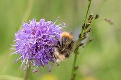 El abejorro temprano o el abejorro de la temprano-jerarquización, pratorum del Bombus, varón que se sentaba en diablos mordió esc Fotografía de archivo libre de regalías