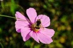El abejorro trabajador trabaja en una flor - recoge el polen Fotografía de archivo libre de regalías