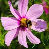 El abejorro trabajador trabaja en una flor - recoge el polen Fotos de archivo libres de regalías