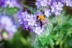 El abejorro una flor y recoge el néctar Imagen de archivo libre de regalías