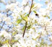 El abejorro vuela al flor de la manzana Fotos de archivo