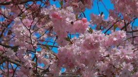 El abejorro vuela al lado de las flores de un cerezo