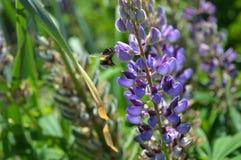 El abejorro vuela al lupine Imagen de archivo