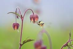 El abejorro vuela hasta la flor del rosa del prado para el néctar Fotografía de archivo libre de regalías