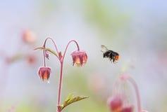 El abejorro vuela hasta la flor del rosa del prado para el néctar Fotografía de archivo