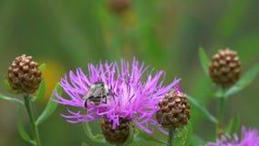 El abejorro vuela a la flor marrón de la centaurea, cámara lenta metrajes