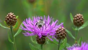 El abejorro vuela a la flor marr?n de la centaurea, c?mara lenta metrajes