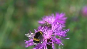 El abejorro y la abeja están en una flor marrón de la centaurea almacen de video