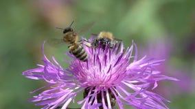El abejorro y la abeja están en una flor marrón de la centaurea, cámara lenta almacen de metraje de vídeo