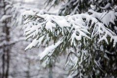El abeto ramifica en la nieve en el bosque en invierno Imagenes de archivo