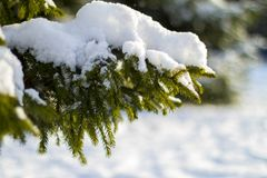 El abeto ramifica en la nieve en el frío Fotografía de archivo libre de regalías