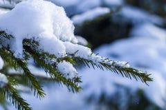 El abeto ramifica en la nieve en el frío Fotografía de archivo