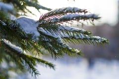 El abeto ramifica en la nieve en el frío imagen de archivo