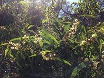 El acacia confunde el árbol que florece en el barranco de Waimea en la isla de Kauai, Hawaii Imágenes de archivo libres de regalías