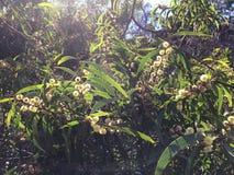 El acacia confunde el árbol que florece en el barranco de Waimea en la isla de Kauai, Hawaii Fotos de archivo libres de regalías
