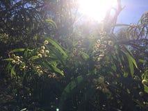 El acacia confunde el árbol que florece en el barranco de Waimea en la isla de Kauai, Hawaii Fotografía de archivo